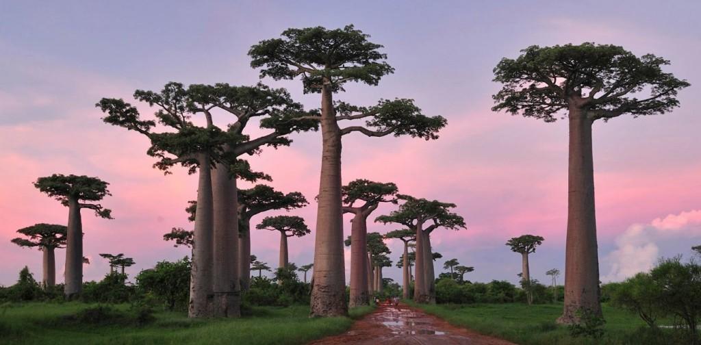 les_plus_beaux_arbres_du_monde_madagascar_baobab.png